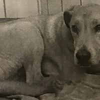 Adopt A Pet :: Shiloh - East Hartford, CT