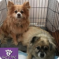 Adopt A Pet :: Bella (part of bonded pair) - Irvine, CA