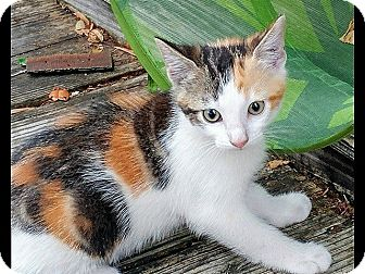 Calico Kitten for adoption in Tampa, Florida - Patches