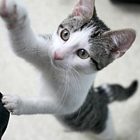Adopt A Pet :: Pear - Montclair, NJ