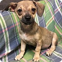 Dachshund/Chihuahua Mix Puppy for adoption in Phoenix, Arizona - Sweetart