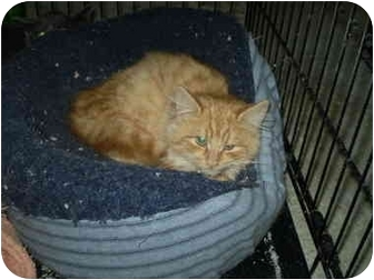 Domestic Longhair Kitten for adoption in San Ramon, California - Sunshine