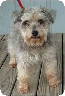 Schnauzer (Standard) Dog for adoption in Harrisonburg, Virginia - Lucy Holiday Special