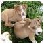 Photo 3 - Australian Shepherd/Australian Cattle Dog Mix Puppy for adoption in Sacramento, California - Athena