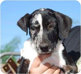 Labrador Retriever Mix Puppy for adoption in Stephenville, Texas - Tank