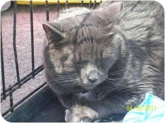 Domestic Mediumhair Cat for adoption in Hopkinsville, Kentucky - Blue