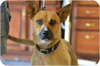 Shepherd (Unknown Type) Mix Dog for adoption in Nashville, Tennessee - Copper