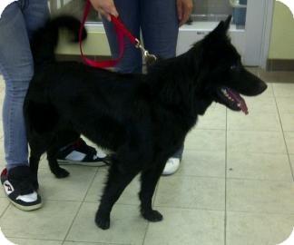 Belgian Malinois Mix Dog for adoption in Columbus, Georgia - Bellatrix 4E6A