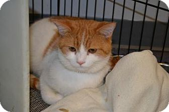 Domestic Shorthair Cat for adoption in Edwardsville, Illinois - Illinois
