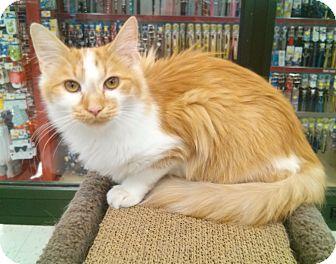 Domestic Longhair Cat for adoption in Phoenix, Arizona - Red