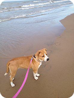 Corgi/Labrador Retriever Mix Dog for adoption in Glenview, Illinois - Mimi