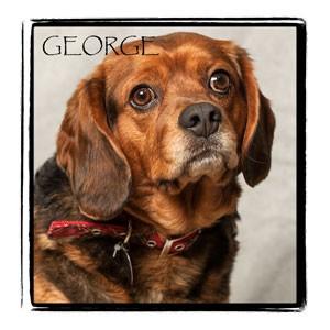 Beagle Mix Dog for adoption in Warren, Pennsylvania - George