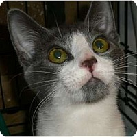 Adopt A Pet :: Purrlina - lake elsinore, CA