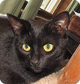 Domestic Shorthair Cat for adoption in Walden, New York - Haley
