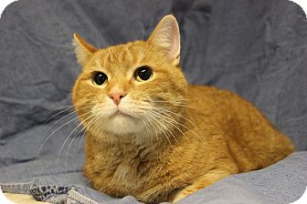 Domestic Shorthair Cat for adoption in Midland, Michigan - Copper