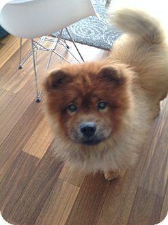 Chow Chow Dog for adoption in Tillsonburg, Ontario - Cheddar aka Choo Choo