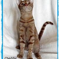 Adopt A Pet :: Cheddar - Plain City, OH