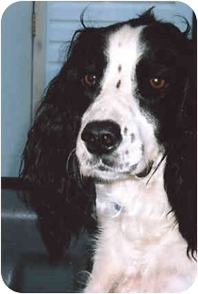 English Springer Spaniel Dog for adoption in Owatonna, Minnesota - Sunny
