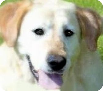 Labrador Retriever Dog for adoption in Winchester, Kentucky - EMILY(LOST EVERY ONE SHE LOVED