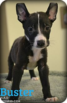Pit Bull Terrier/Labrador Retriever Mix Puppy for adoption in Beaumont, Texas - Buster
