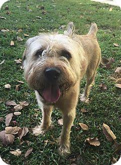 Wheaten Terrier Mix Dog for adoption in Boca Raton, Florida - Travis