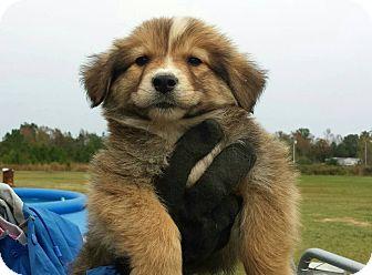 Australian Shepherd/Collie Mix Puppy for adoption in Sagaponack, New York - Stevie