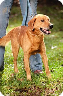 Retriever (Unknown Type) Mix Dog for adoption in Marion, North Carolina - Roy