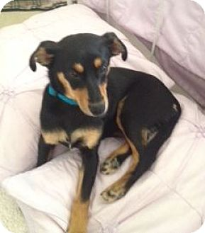Miniature Pinscher Mix Puppy for adoption in Knoxville, Tennessee - Miri
