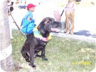 Labrador Retriever Mix Puppy for adoption in Frankfort, Illinois - Leo