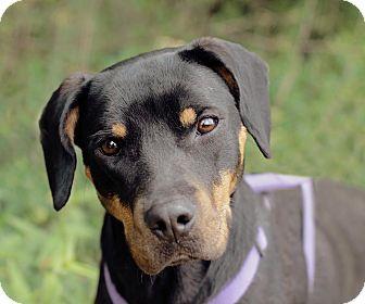 Beagle/Doberman Pinscher Mix Dog for adoption in Marietta, Georgia - Brooklyn