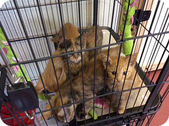 Domestic Shorthair Kitten for adoption in Mechanicsburg, Ohio - 5084 - Orange Tiger
