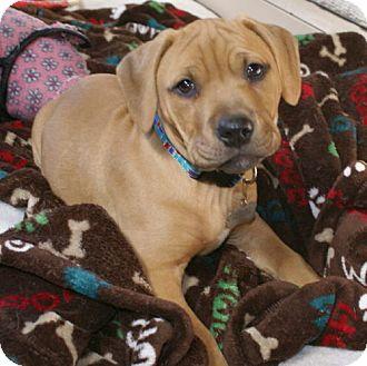 Pit Bull Terrier Mix Puppy for adoption in Framingham, Massachusetts - Finn