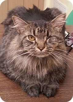 Domestic Mediumhair Cat for adoption in Hopkinsville, Kentucky - WINKIE