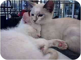 Siamese Kitten for adoption in Tracy, California - Mia-ADOPTED