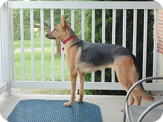 German Shepherd Dog Mix Dog for adoption in New Ringgold, Pennsylvania - Lily