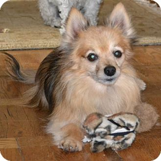 Pomeranian/Chihuahua Mix Dog for adoption in Palatine, Illinois - Marty