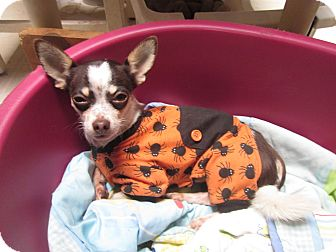 Chihuahua Dog for adoption in Bloomington, Indiana - Piccino