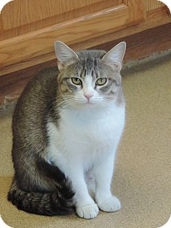 Domestic Shorthair Cat for adoption in Brookings, South Dakota - Prada