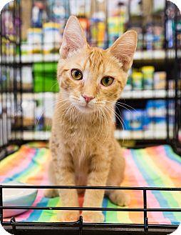 Domestic Shorthair Kitten for adoption in Gilbert, Arizona - Garrett