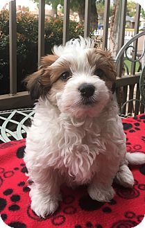 Cairn Terrier/Poodle (Miniature) Mix Puppy for adoption in Santa Ana, California - Nutmeg