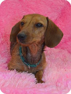 Dachshund Dog for adoption in Bridgeton, Missouri - Mollie-Adoption prnding
