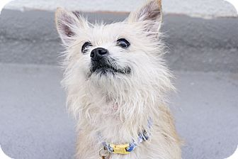 Cairn Terrier/Yorkie, Yorkshire Terrier Mix Dog for adoption in Los Angeles, California - ELFIE