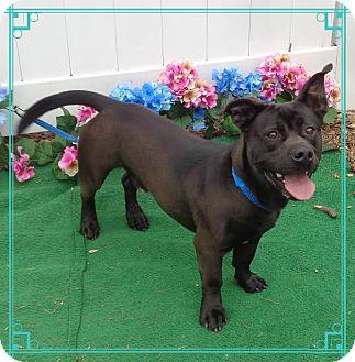Basset Hound/Terrier (Unknown Type, Medium) Mix Dog for adoption in Marietta, Georgia - DIXON