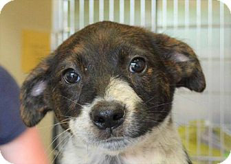 Cattle Dog Mix Puppy for adoption in Southbury, Connecticut - Portia