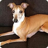 Adopt A Pet :: Sam - Croton, NY