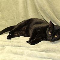 Domestic Shorthair Cat for adoption in McCormick, South Carolina - Elke