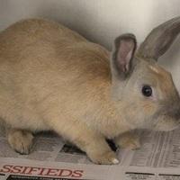 Adopt A Pet :: *MUSHU - Las Vegas, NV