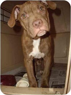 Pit Bull Terrier Mix Puppy for adoption in Battleground, Indiana - Karli