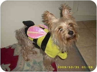 Yorkie, Yorkshire Terrier Dog for adoption in Van Nuys, California - Max