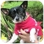 Photo 3 - Chihuahua Dog for adoption in Poway, California - Ace